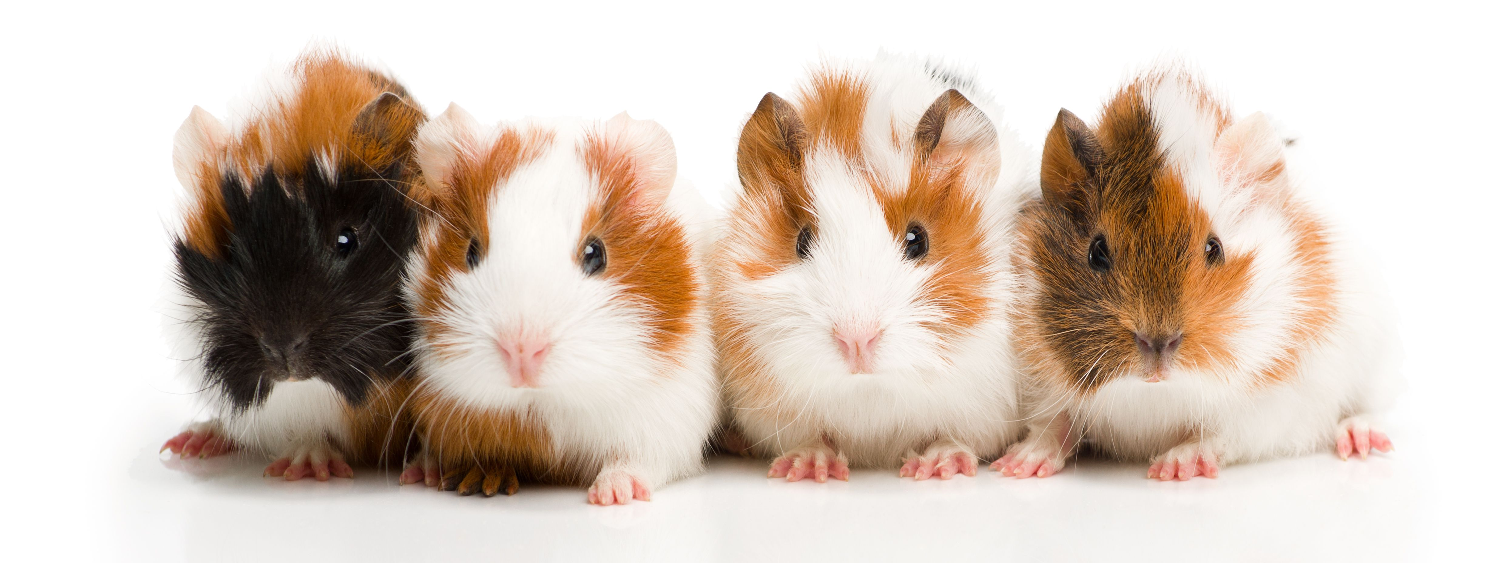 72 cute and funny guinea pig names funny pigs and