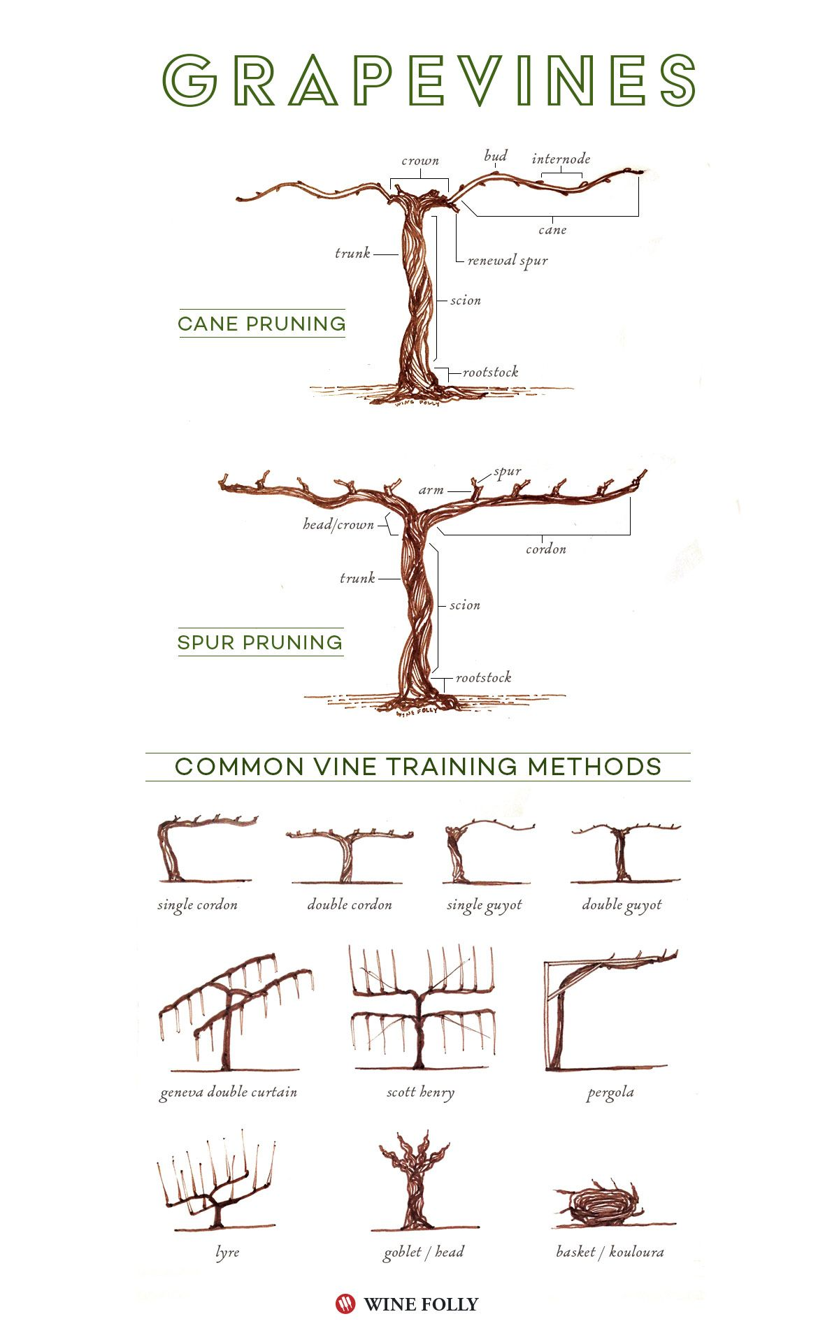 Illustrated grape vine training methods grape vines vines and training - How to prune and train the grapevine ...
