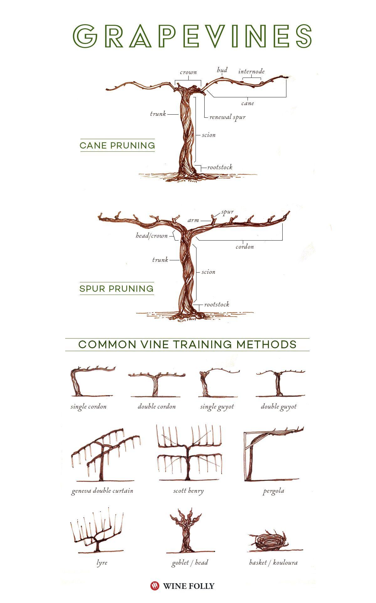 Illustrated Grape Vine Training Methods | Wein, Weinregale und Getränke