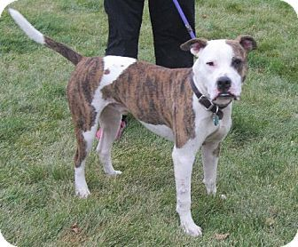 Minneapolis Mn Boxer American Bulldog Mix Meet Sprout Urgent