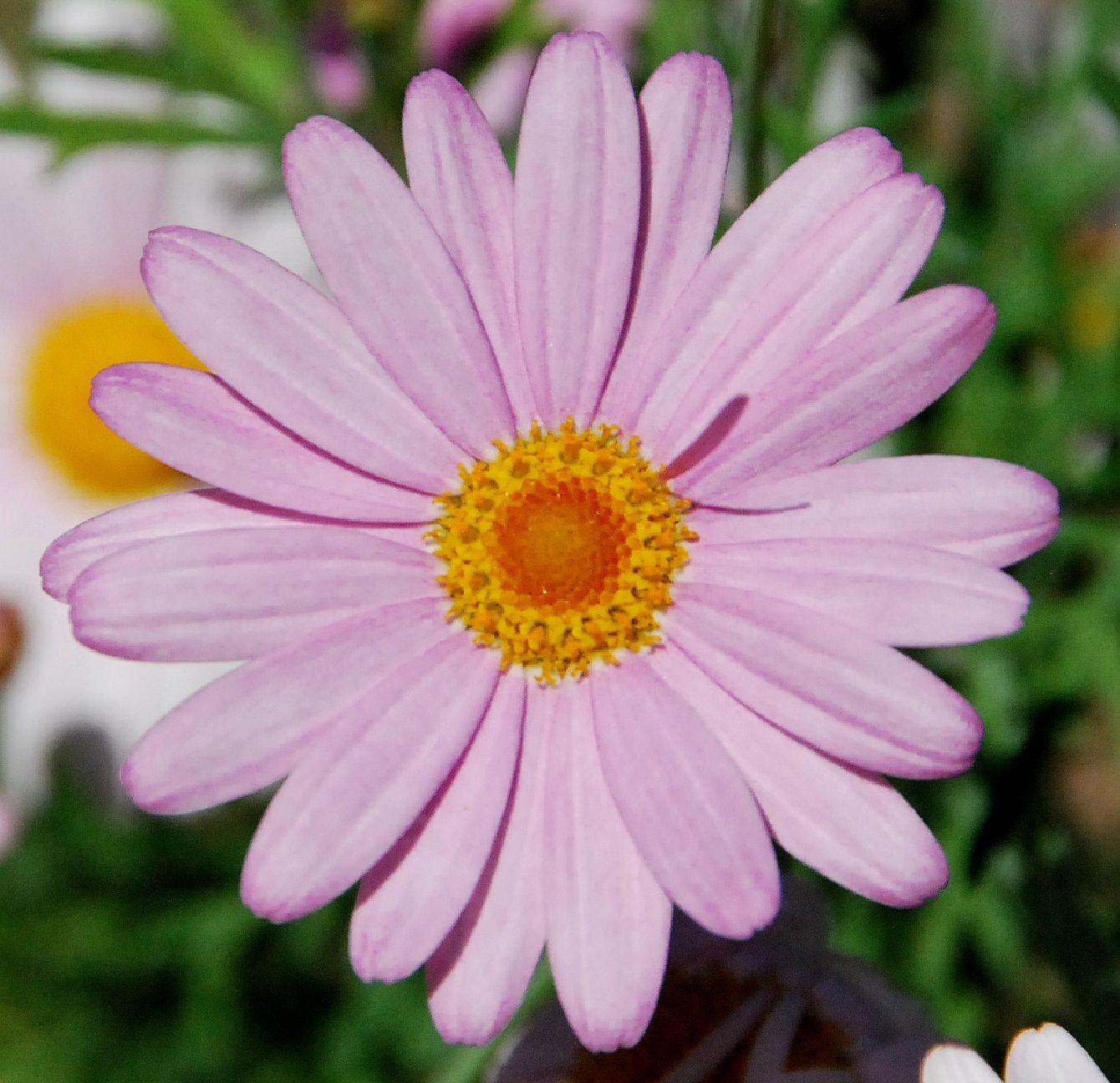 Fotos De Flores 2: MARGARITA ROSA | Margaritas Y Crisantemos