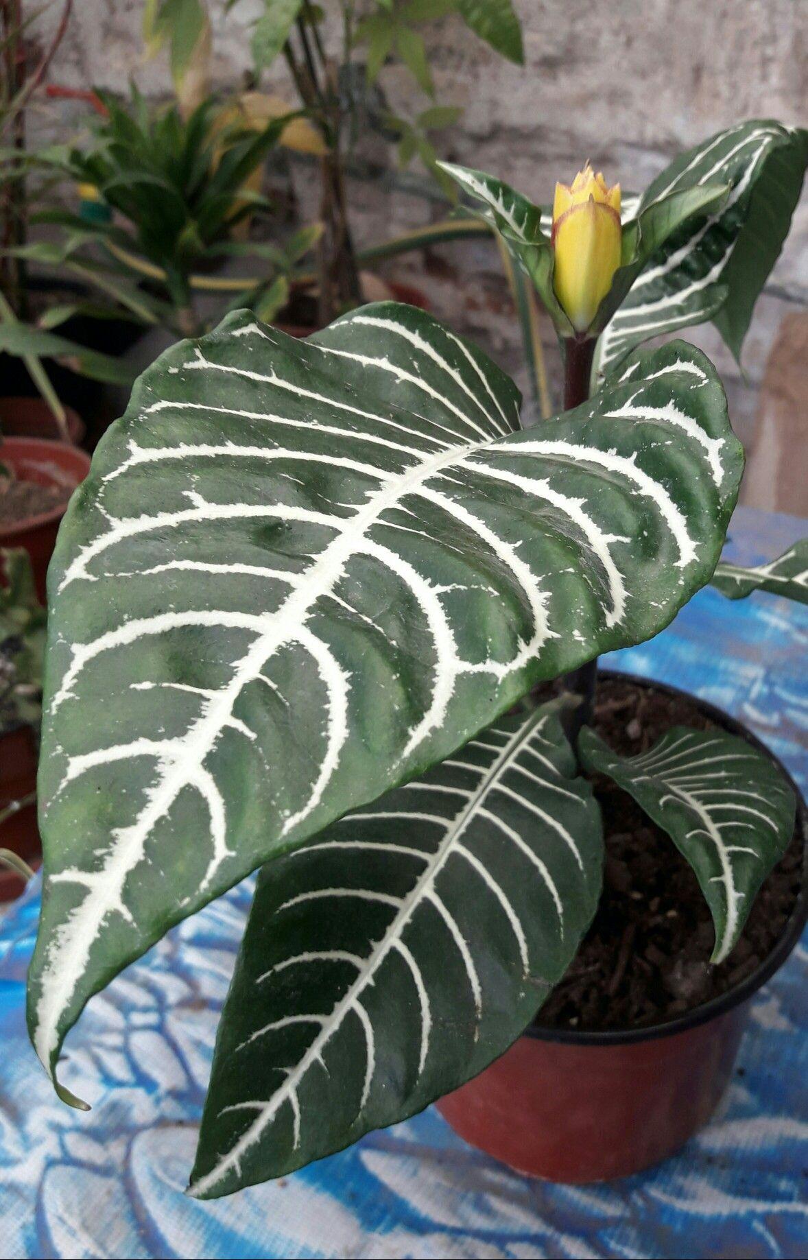 Aphelandra squarrosa planta zebra origen brasil - Calibrachoa perenne ...