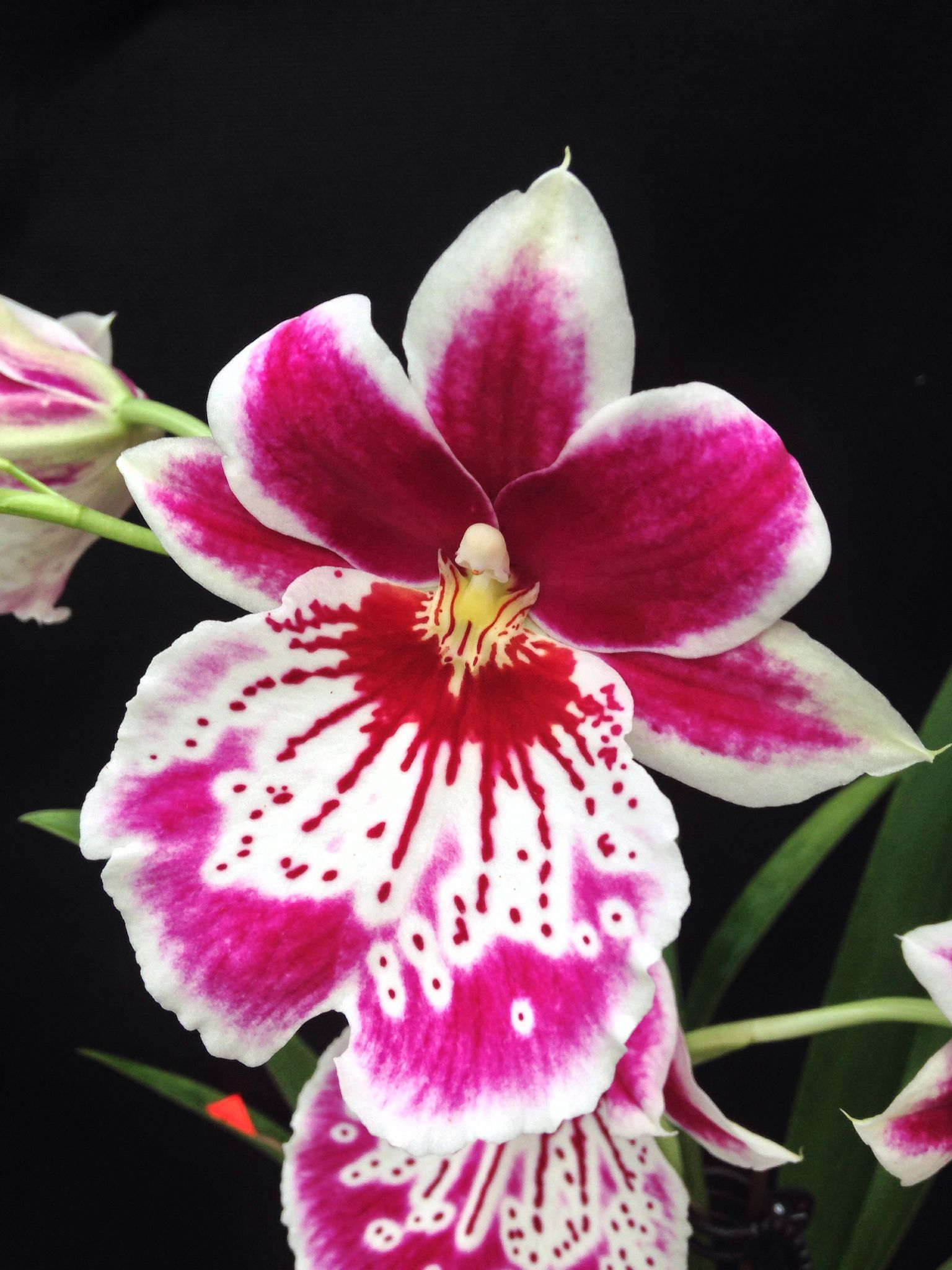 Orchid: Flower-detail of Miltoniopsis Martin Orenstein 'Shirley P' (Eros x Violet) - Flickr - Photo Sharing!