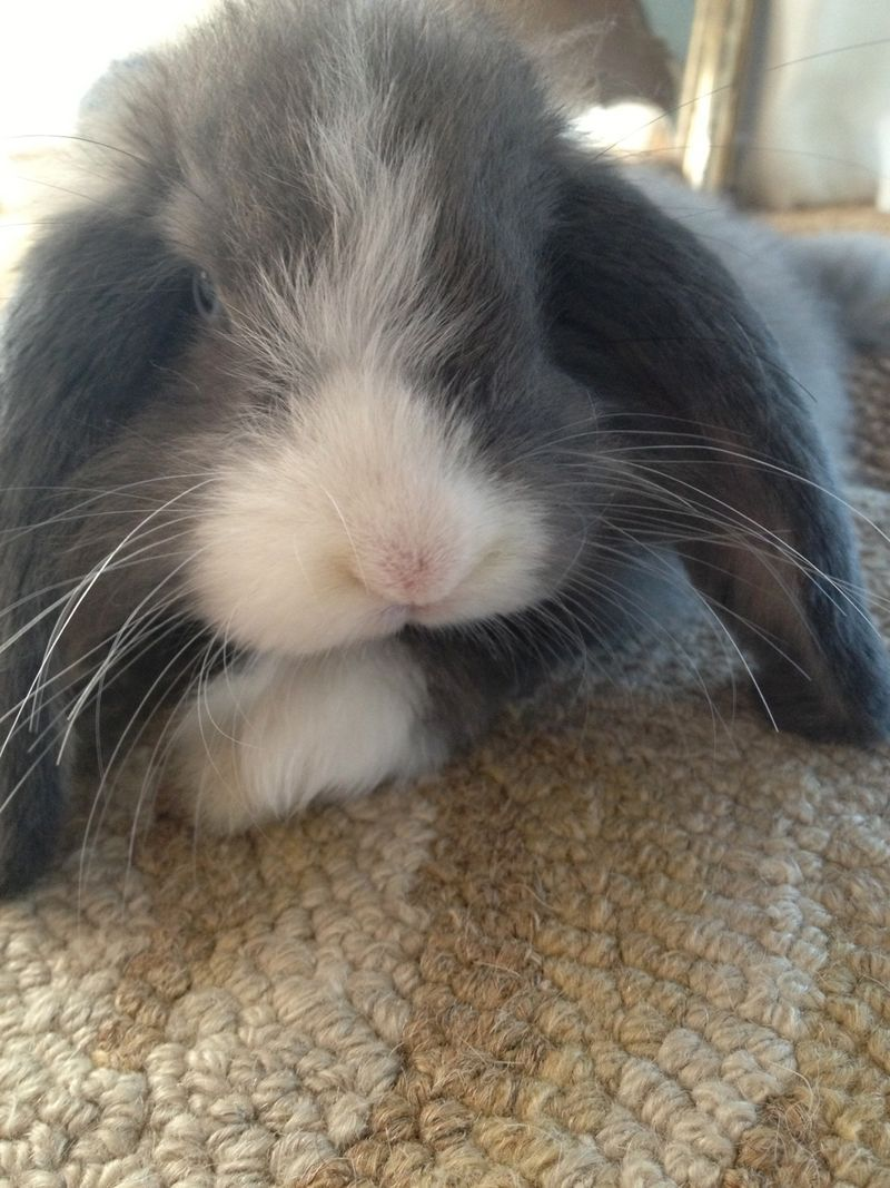 Hector Fuzzbottom's sweet little bunny face.