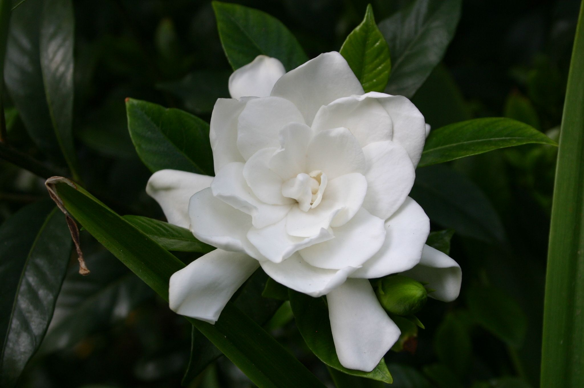 Pin By Jill Coats On Gardening Gardenia Plant Flower Background Wallpaper Plants