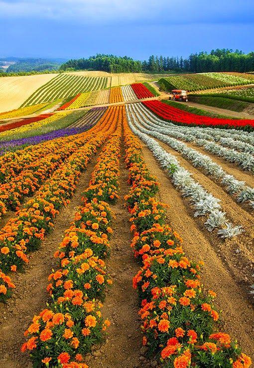 Summer Flower Fields In Biei Hokkaido Japan