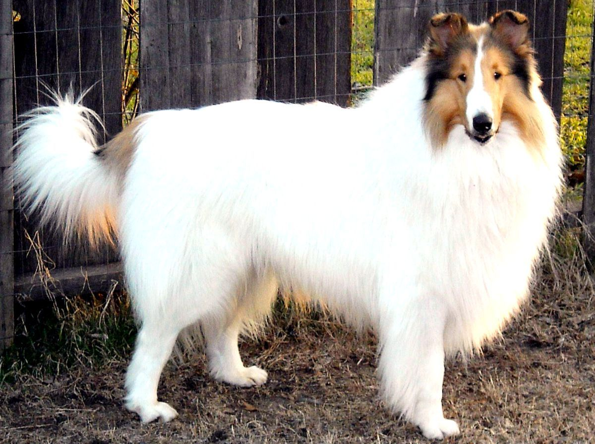 Beautiful Sable Headed White Rough Collie That S What Our Sweet