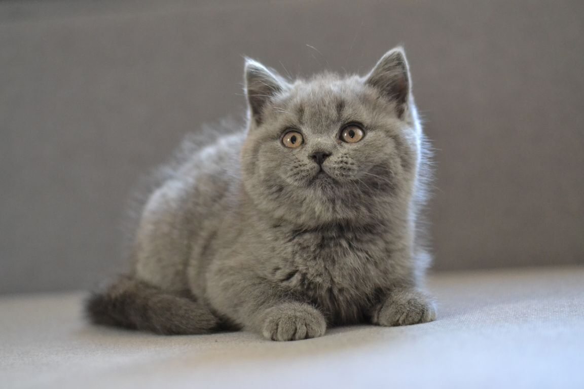 Scottish Straight Baby Boy Color Blue Was Born 05 28 2017 For More Information Text Me Please 302 864 80 30 Nycscottishcats Gmail Com
