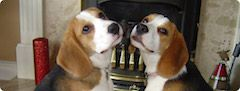Beagle Rehoming service from Beagle Welfare