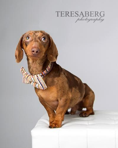Adopt Murphy On Dachshund Love Wire Haired Dachshund Animal Photo