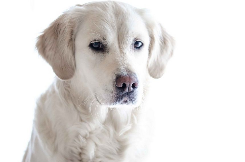 Where To Find Reliable Golden Retriever Breeders When Looking To