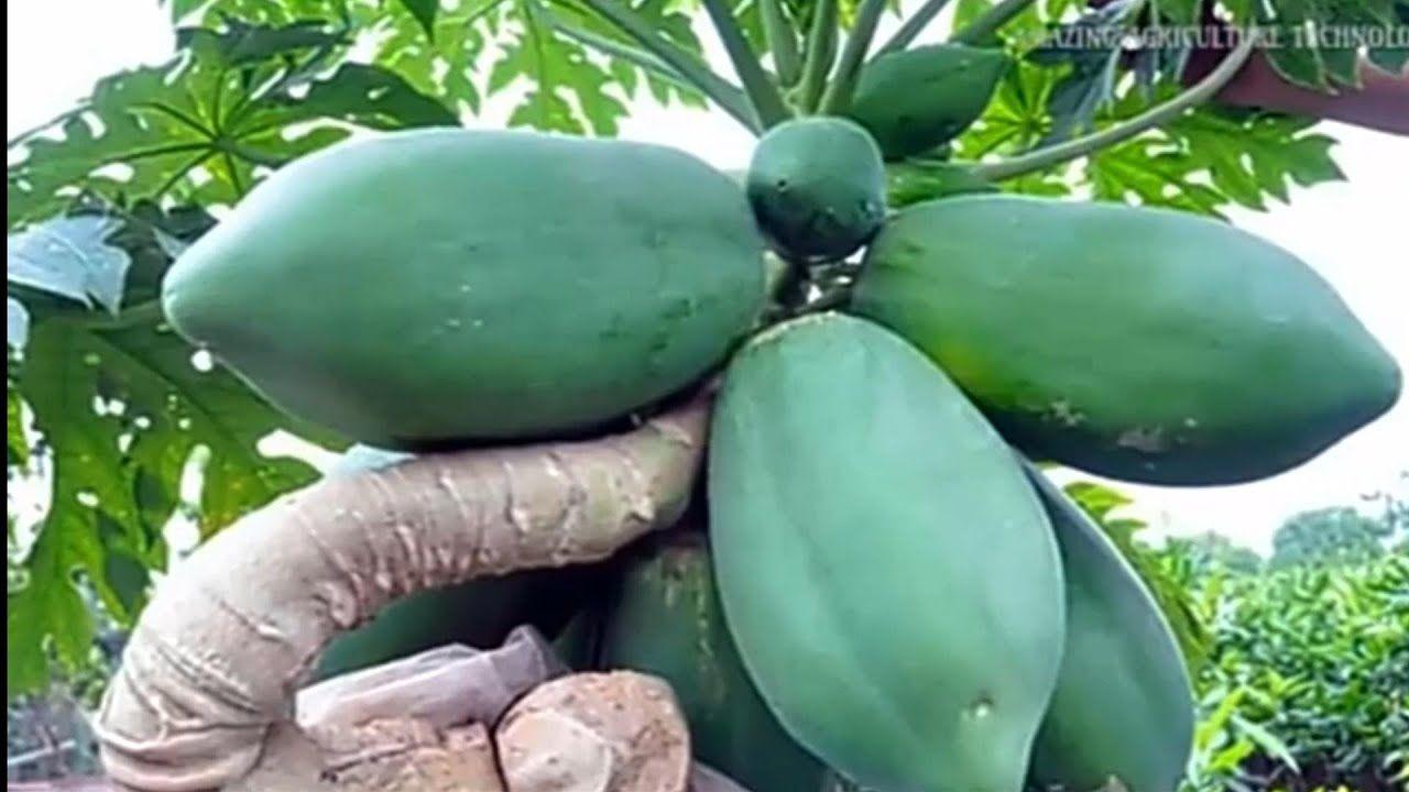 Youtube Papaya Papaya Plant Papaya Tree