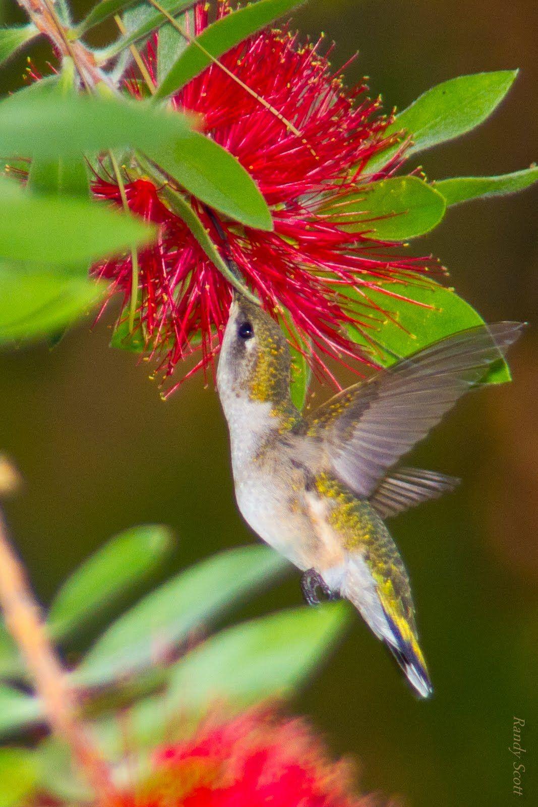 hummingbirds Woodlands Texas Commentary Hummingbirds