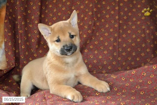 Shiba Inu Puppy For Sale In Ohio Buckeyepuppies Shiba Inu Shiba Inu Puppy Puppies