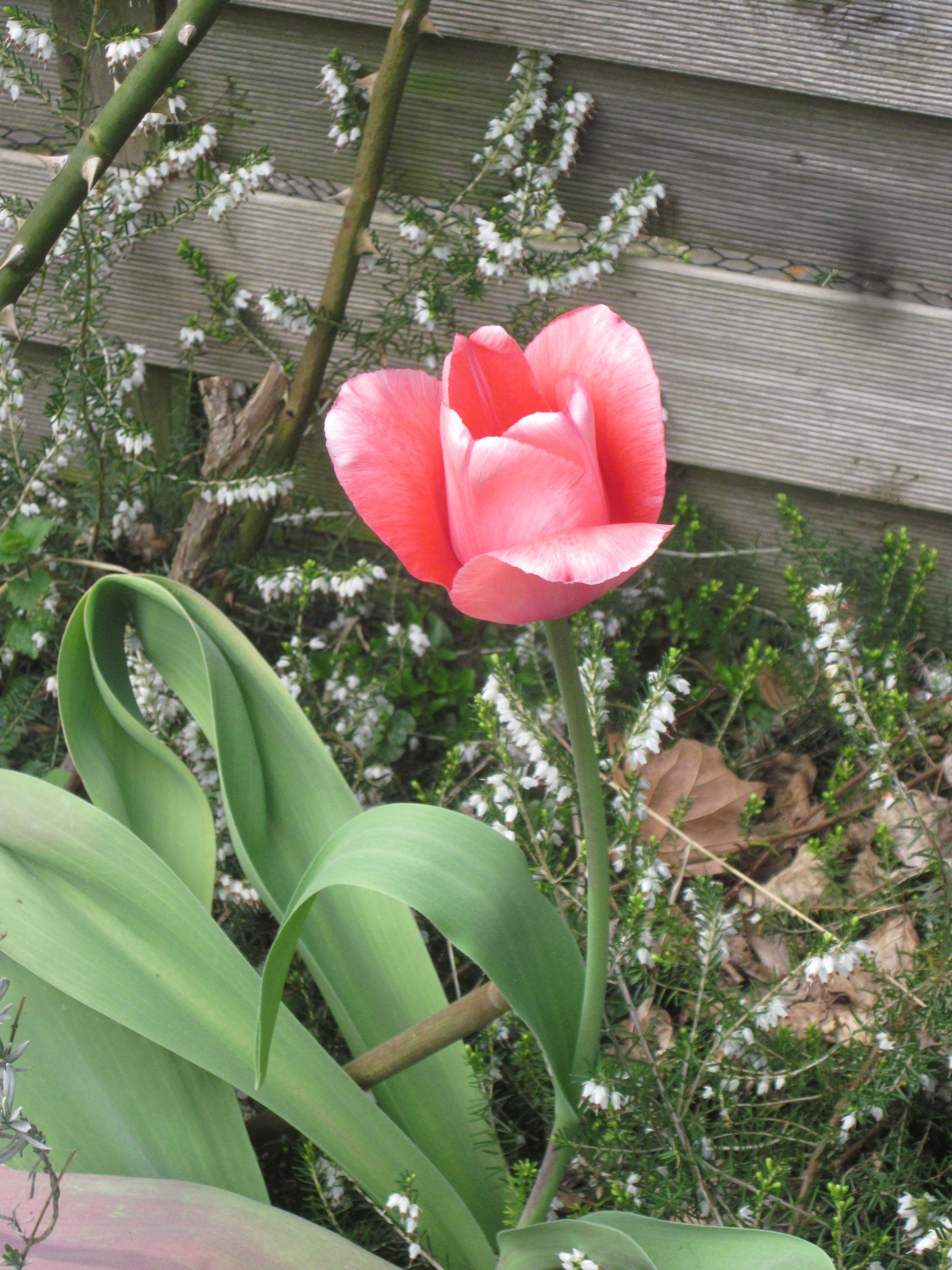 Tulpen, Frühjahrblumen, Zwiebelpflanzen, Tulpe rose