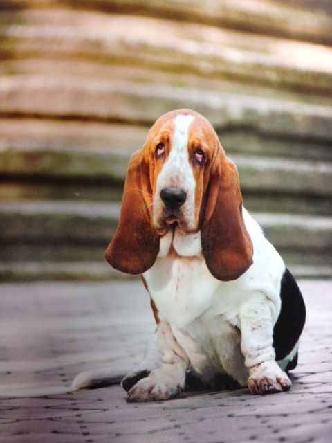 Check Out This Beautiful Basset Hound From Summersdale S New Dog Book Got A Picture Of Your Own Handsome Pup Send It Along With A Shenki Sobaki I Shenki Sobaki