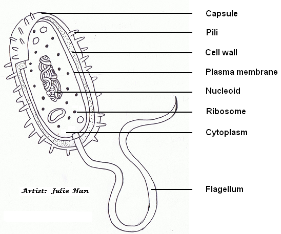 drawing of e coli
