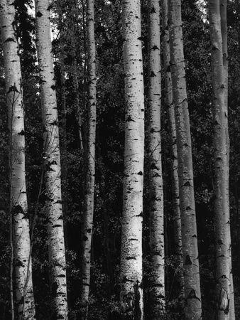 Birketræer Fotografisk tryk af Brett Weston på AllPosters.dk