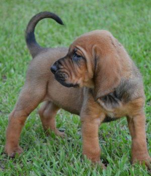 Bloodhound Photo Bloodhound Breed Info Pictures Characteristics