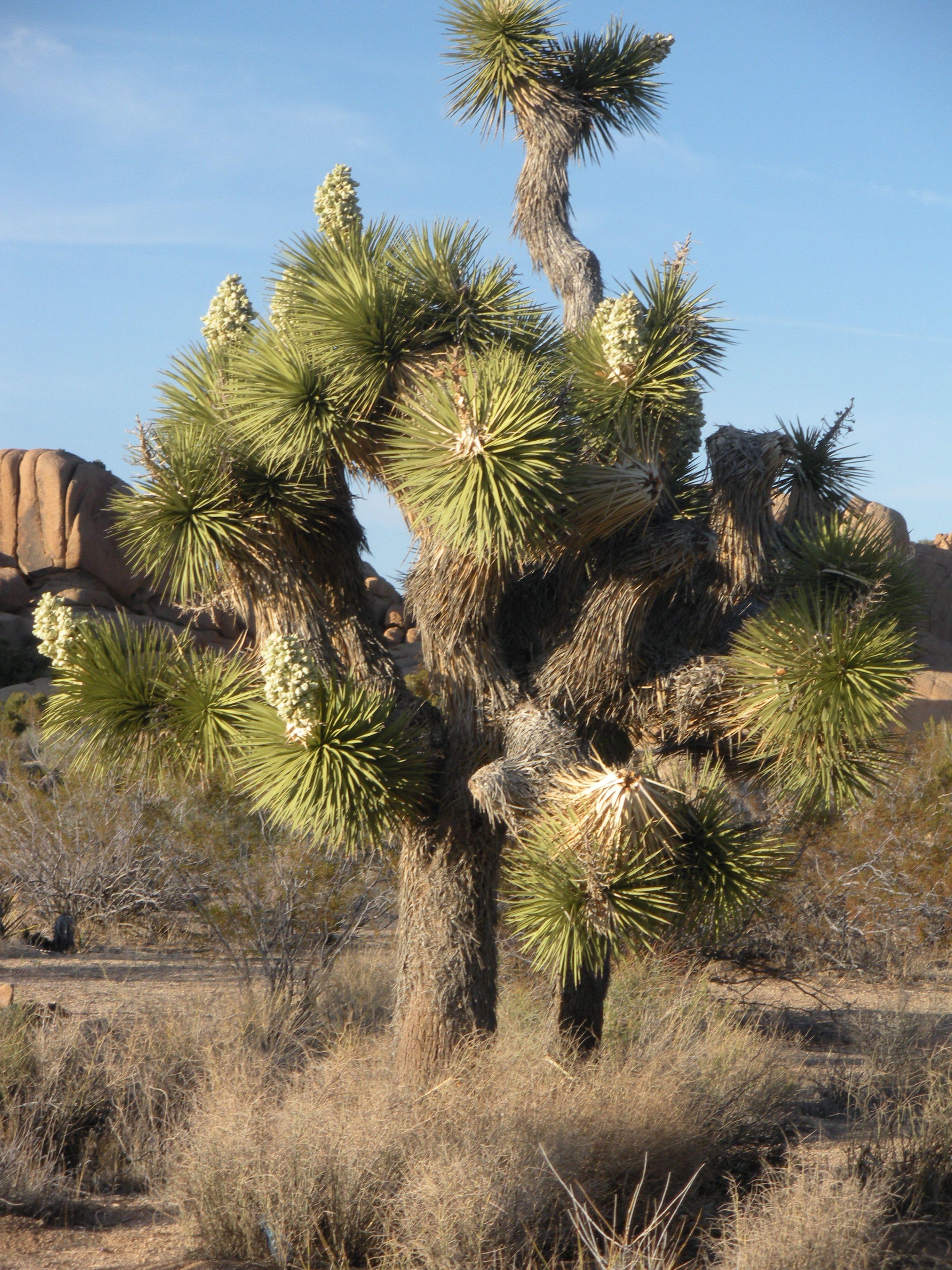 joshua tree. tree california