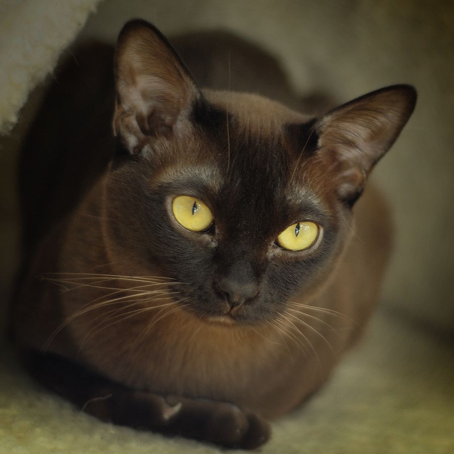 Portrait Of Geisha Burmese Cat Cats Brown Cat