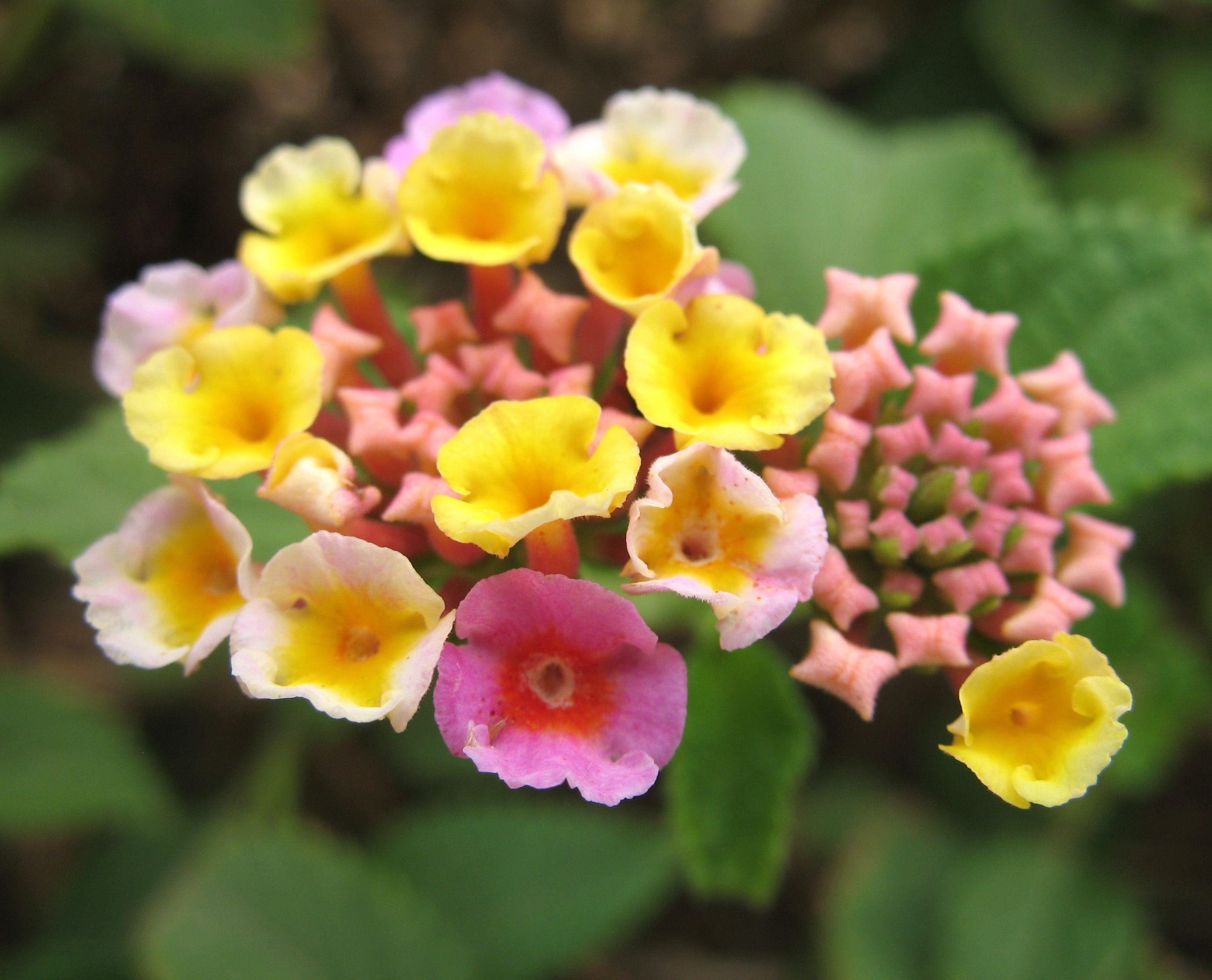Bolivia Cochabamba Lantana Camara O Bandera Espanola O Flor Bolivia Flowers Spanish