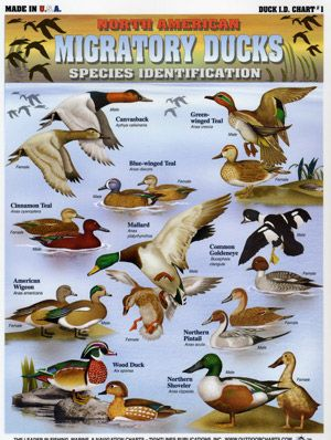 Duck identification chart also rh pinterest