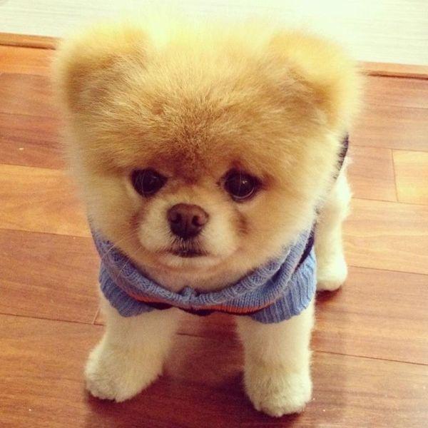 Boo. The world's cutest dog.