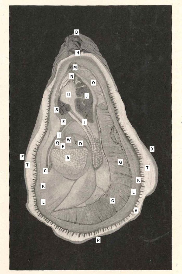 Oyster Anatomy State of Maryland Board of Natural Resources, THE ...