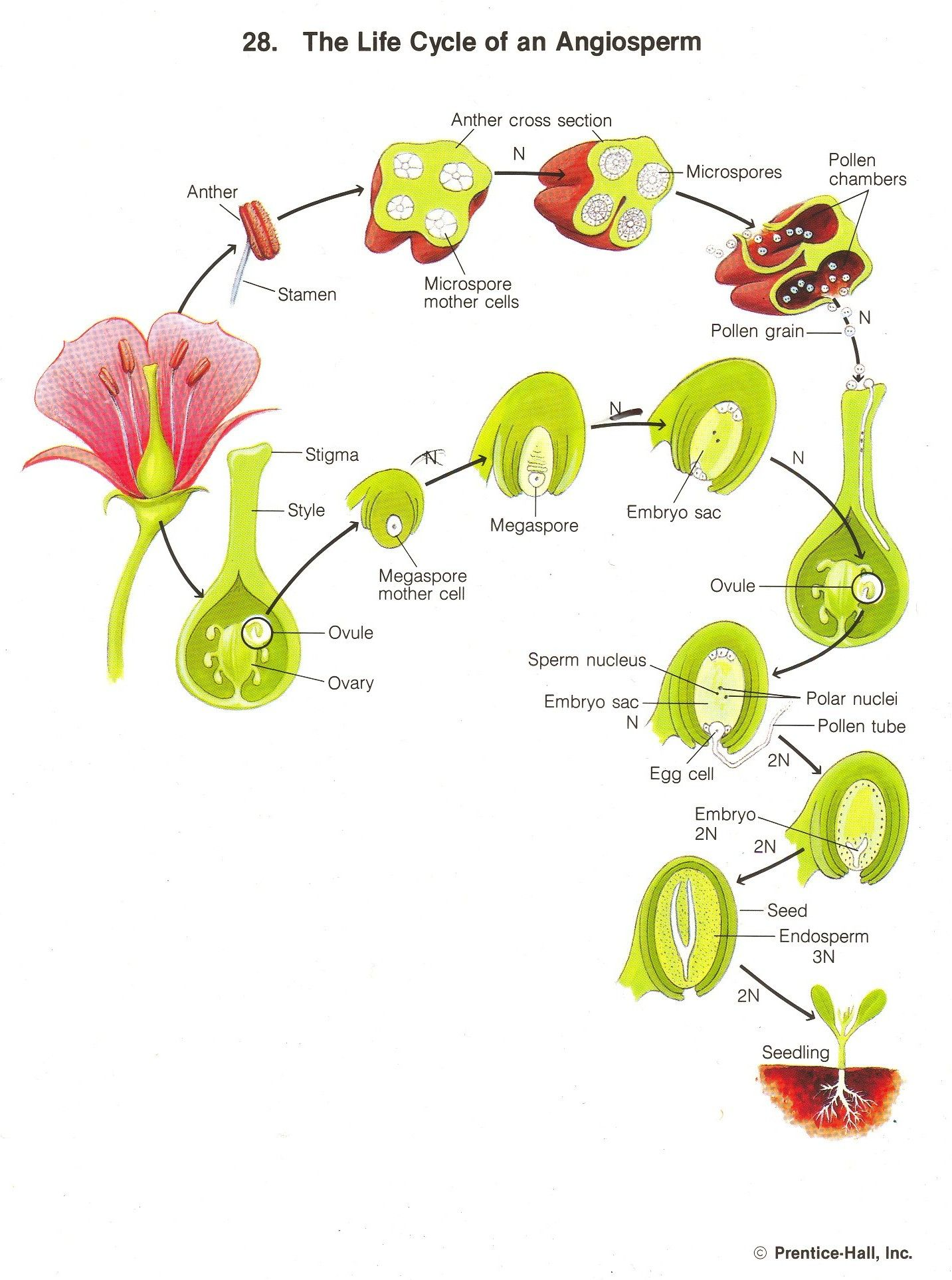 Life Cycle A Flowering Plant Diagram For Kids