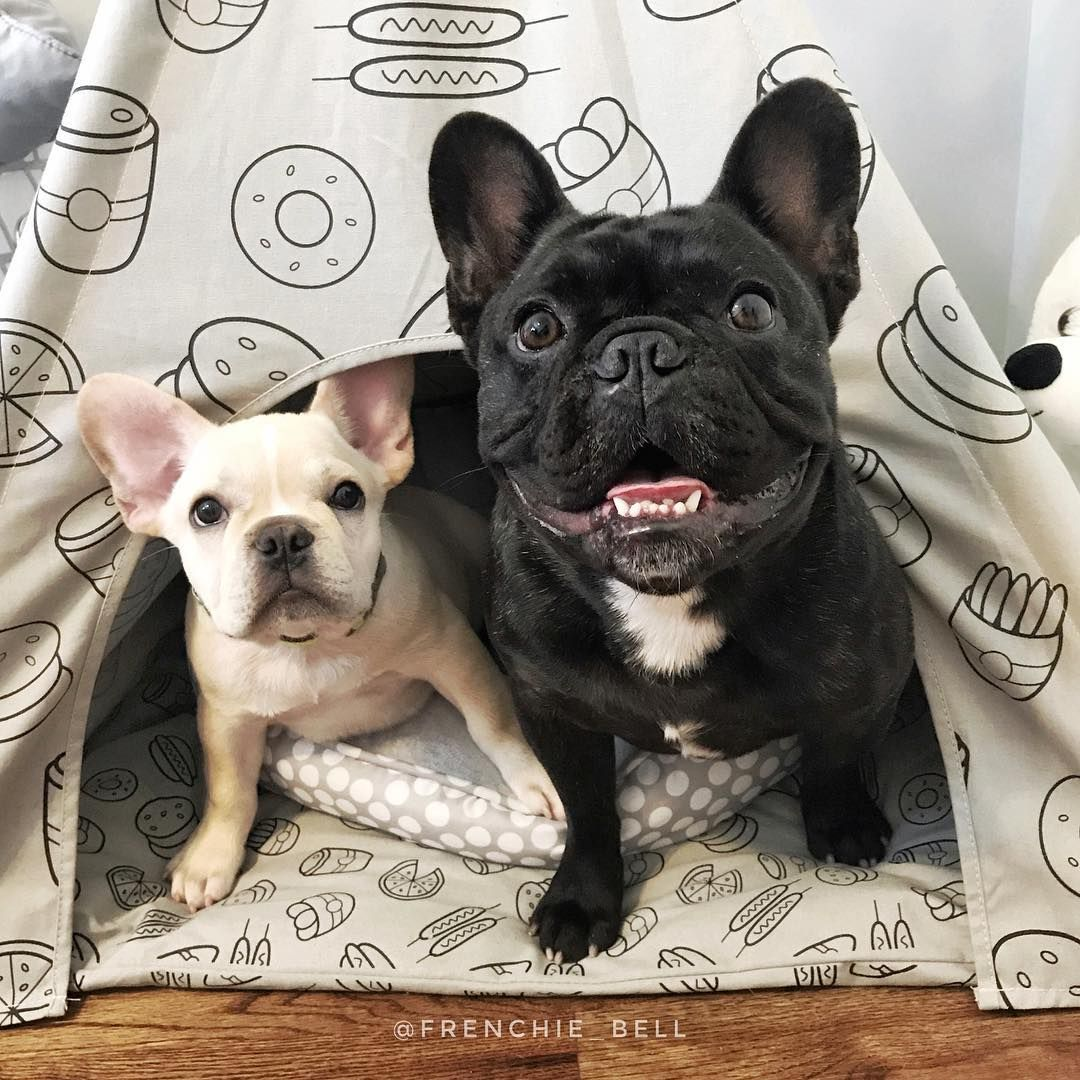 Bell S Beauties Frenchbulldogs On Instagram Father Son Camping