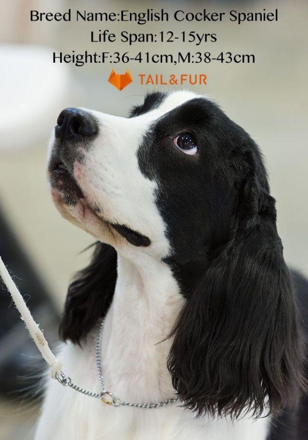 10 Friendly Breeds Of Dogs With Big Floppy Ears Updated List English Cocker Spaniel Spaniel Breeds Spaniel