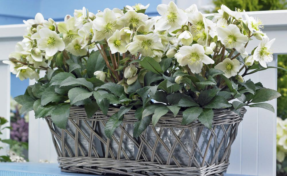 Winterharte Balkonpflanzen Pflegeleichter Topf