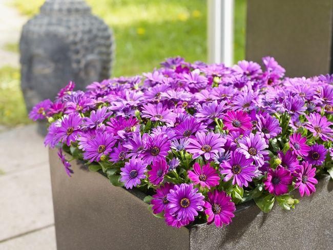 Kapkörbchen ist Gartenblüher des Jahres 2014 Pflanzenkübel und Sommer - interieur trends im sommer inspiration bilder
