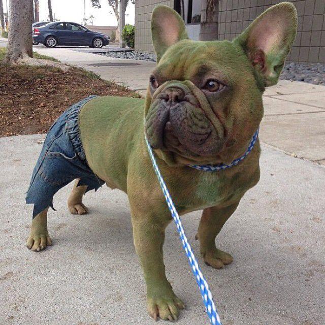 The Incredible Hulk French Bulldog Halloween Costumes French