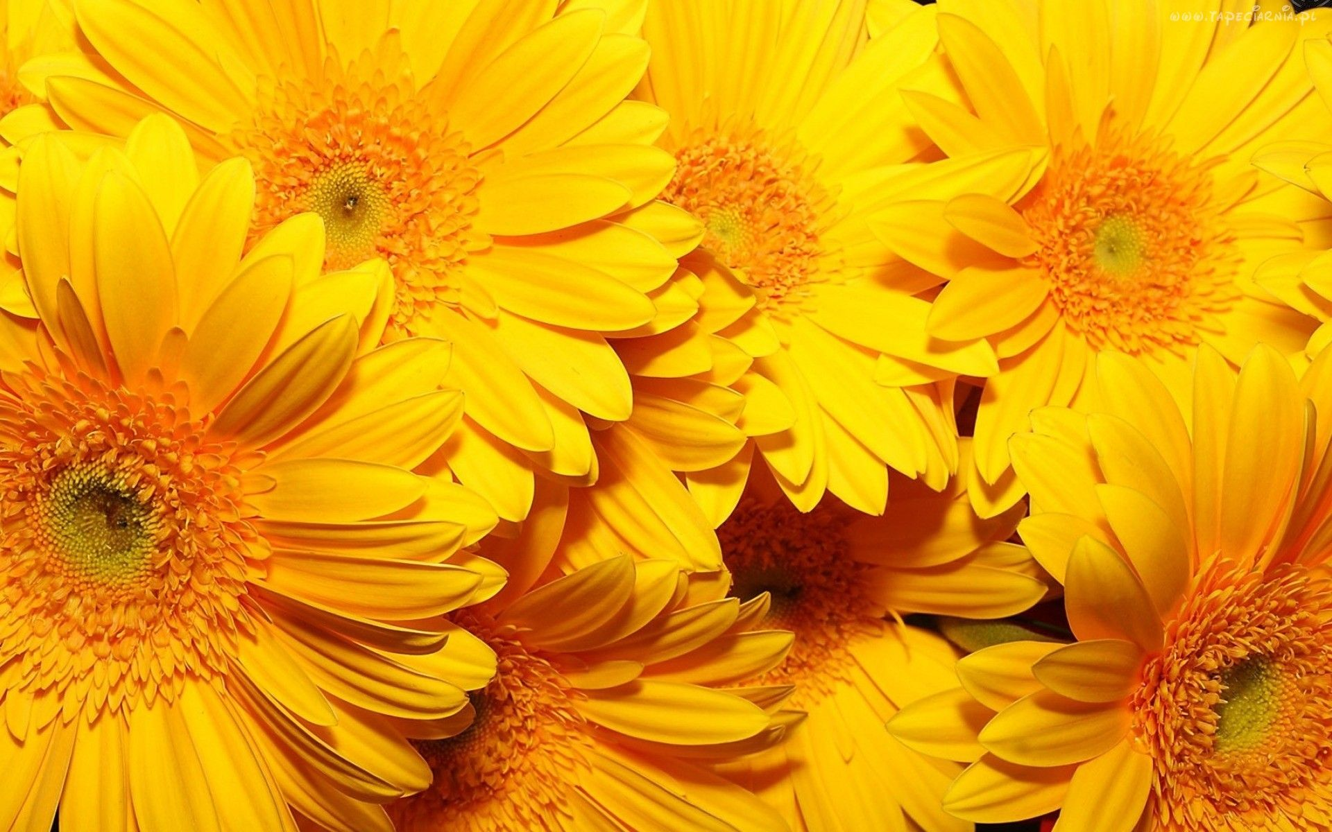 Edycja Tapety Zolte Kwiaty Gerbery Tapety Tapeta Zdjecia Tapety Na Pulpit Yellow Flower Wallpaper Yellow Flowers Yellow Aesthetic
