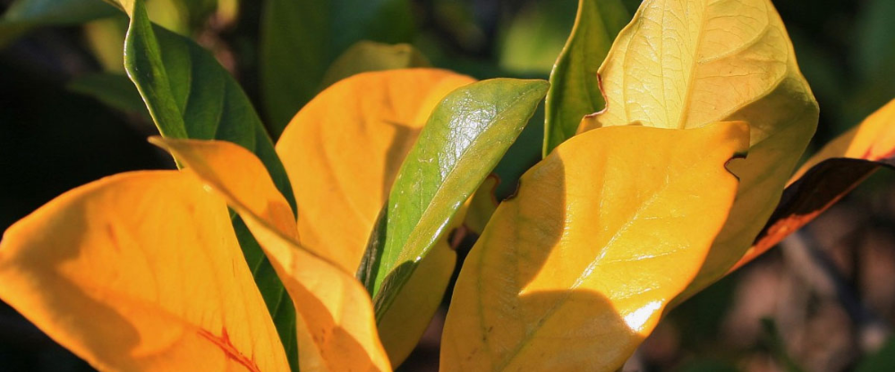 How To Fix A Gardenia Plant That S Starting To Get Yellow Leaves How To Fix A Gardenia Plant Tha In 2020 Gardenia Plant Plant Leaves Turning Yellow Leaves On Plants