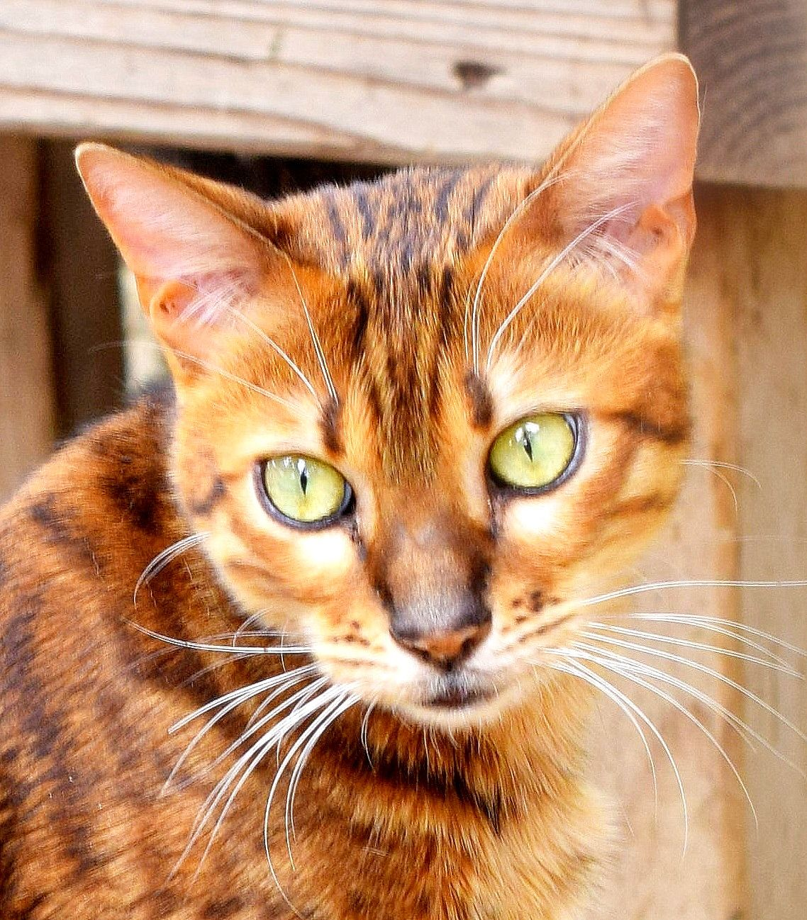 Bengal Cat (Nazuri) A beautiful cat kicked out of her