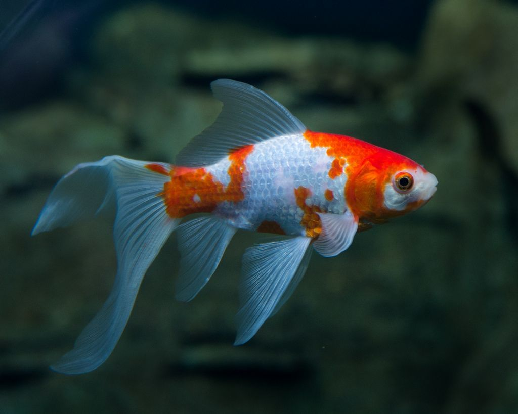 This Goldfish Is Great For Ponds They Can Either Be All Gold Or White With Gold Spots Do You Know What It S Called Comet Goldfish Common Goldfish Goldfish