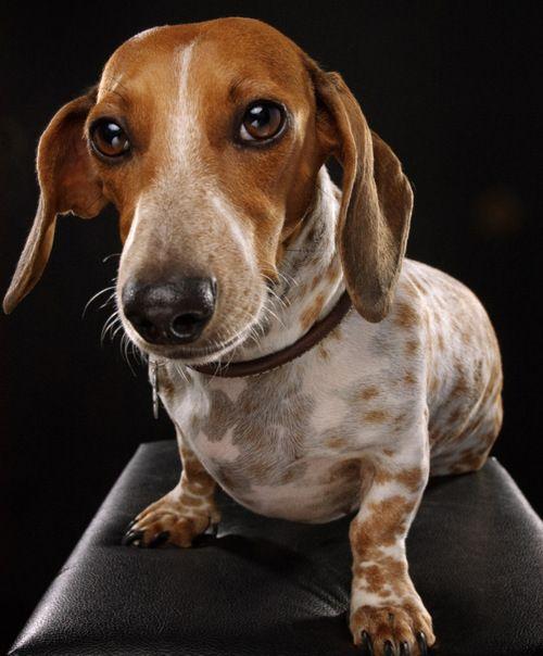 Dachshund By Celeste Danger Dachshund Dog Piebald Dachshund