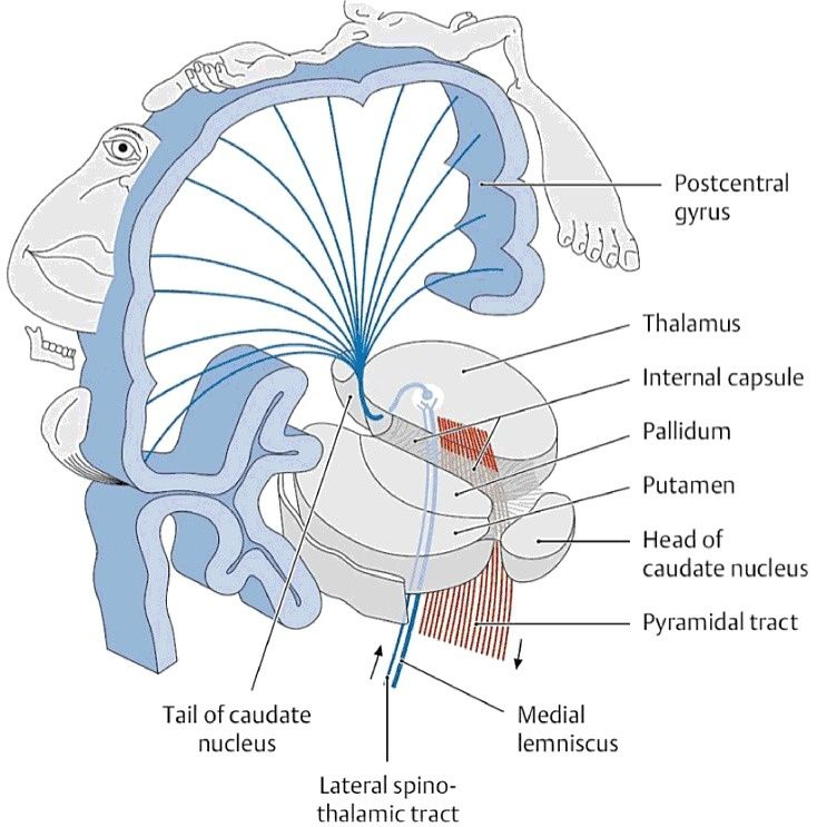 Image result for brain anatomy internal capsule 3d | NEUROLOGY ...