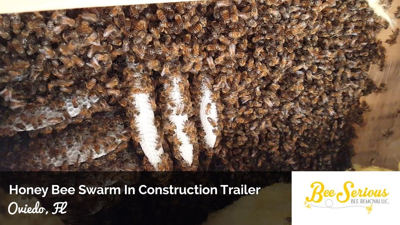 Orlando Bee Removal - Large Honey Bee Swarm and Hive In A