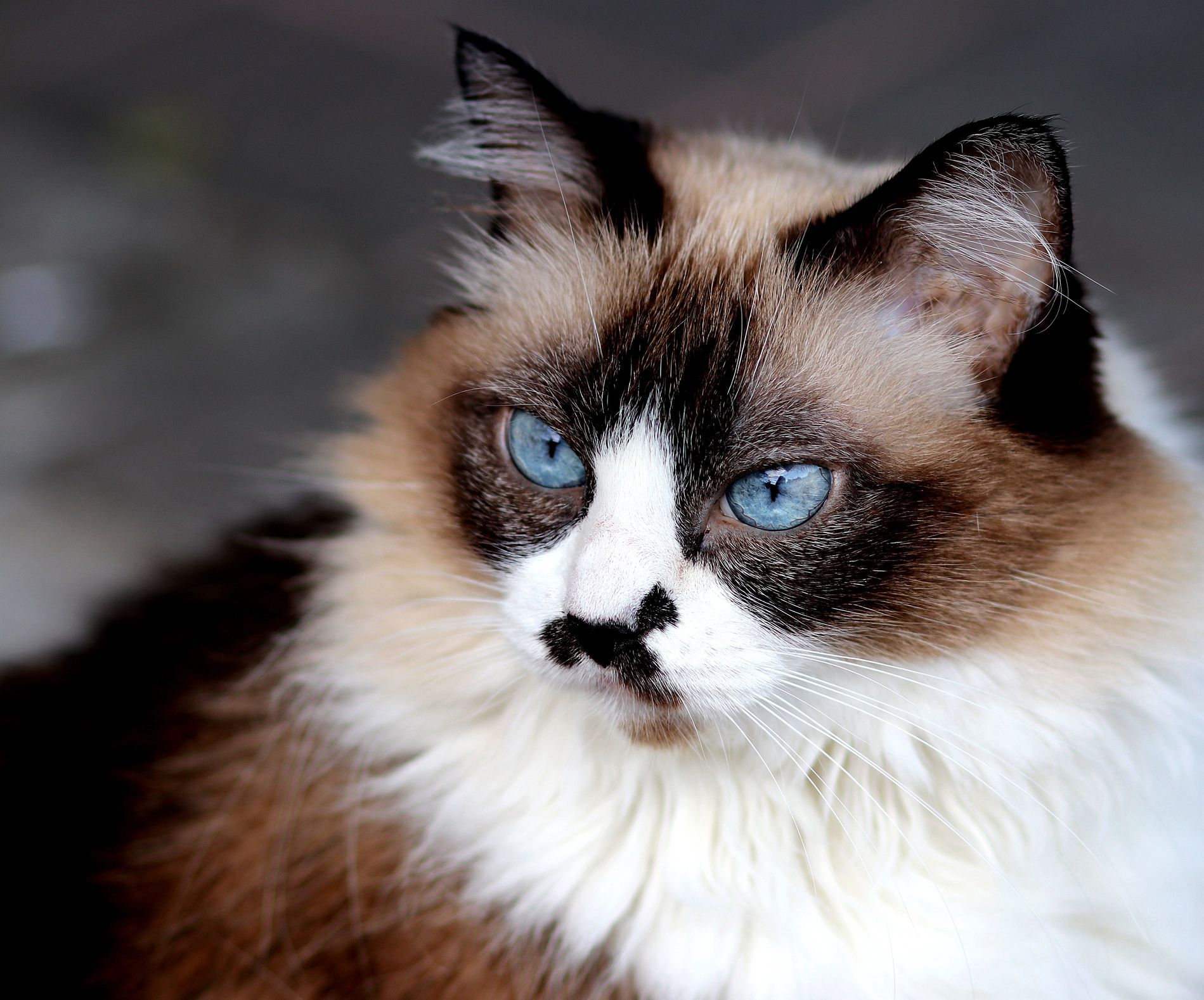 Learn about Himalayan cats—also known as Himmies—including