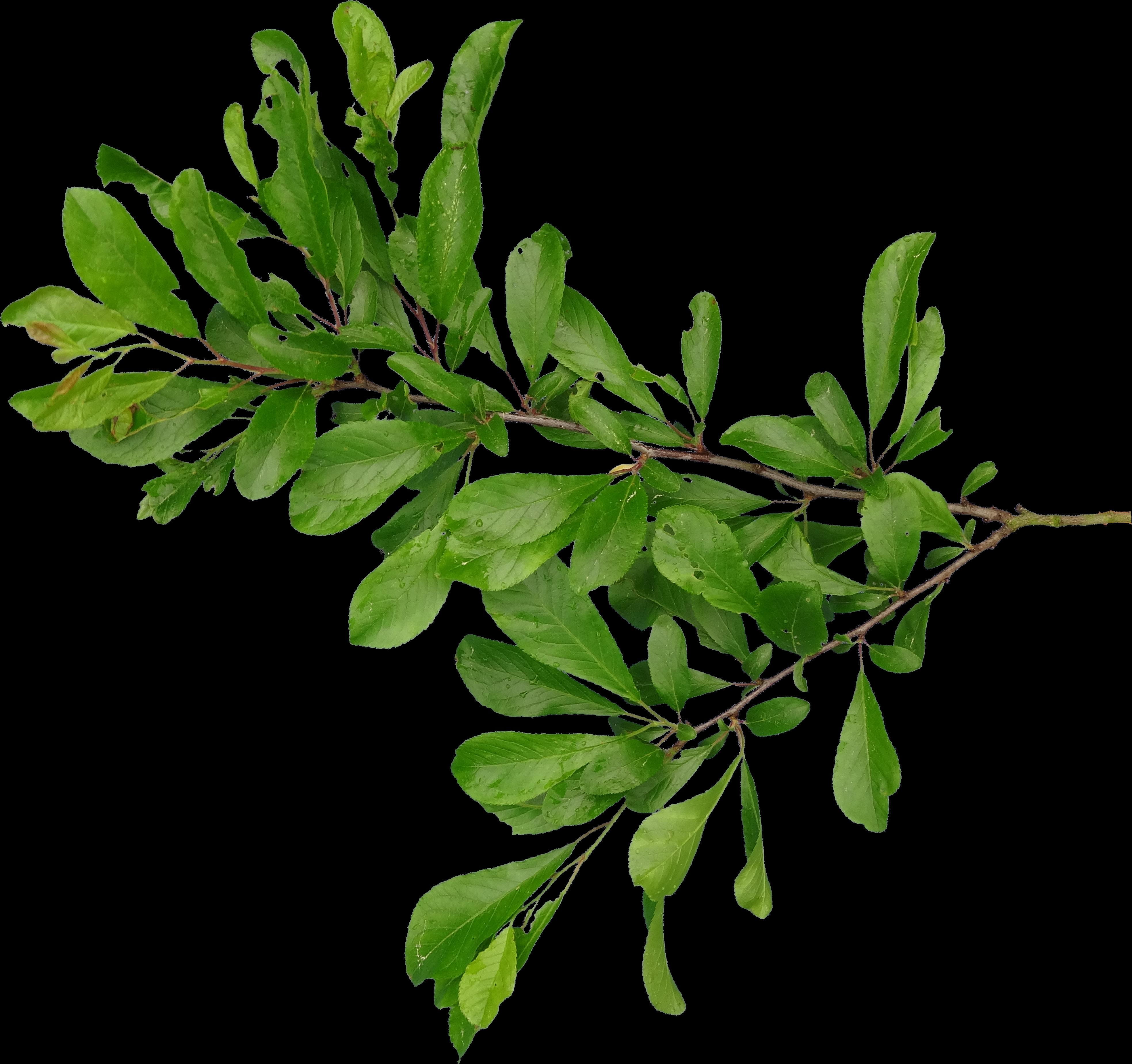 Afbeeldingsresultaat voor png branch   plant png   Pinterest