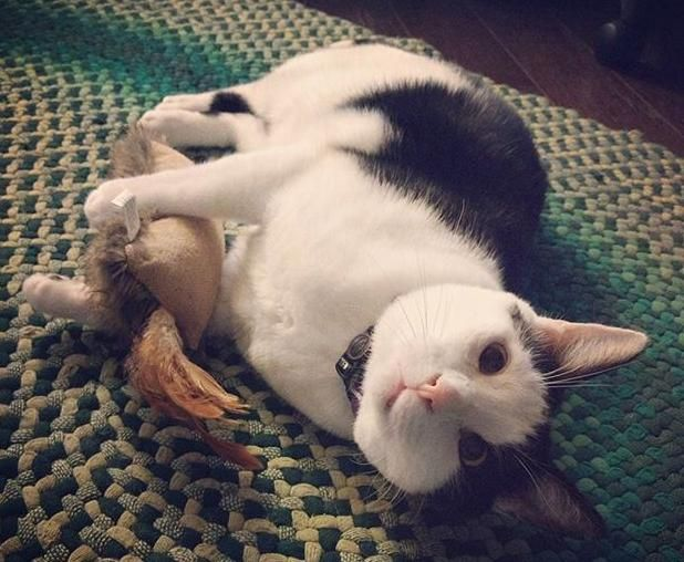 Houston TX Adorable Black and White Male Cat For