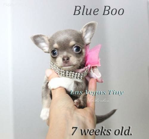 Chihuahua Puppies Image By Diane Tarburn On Dogs