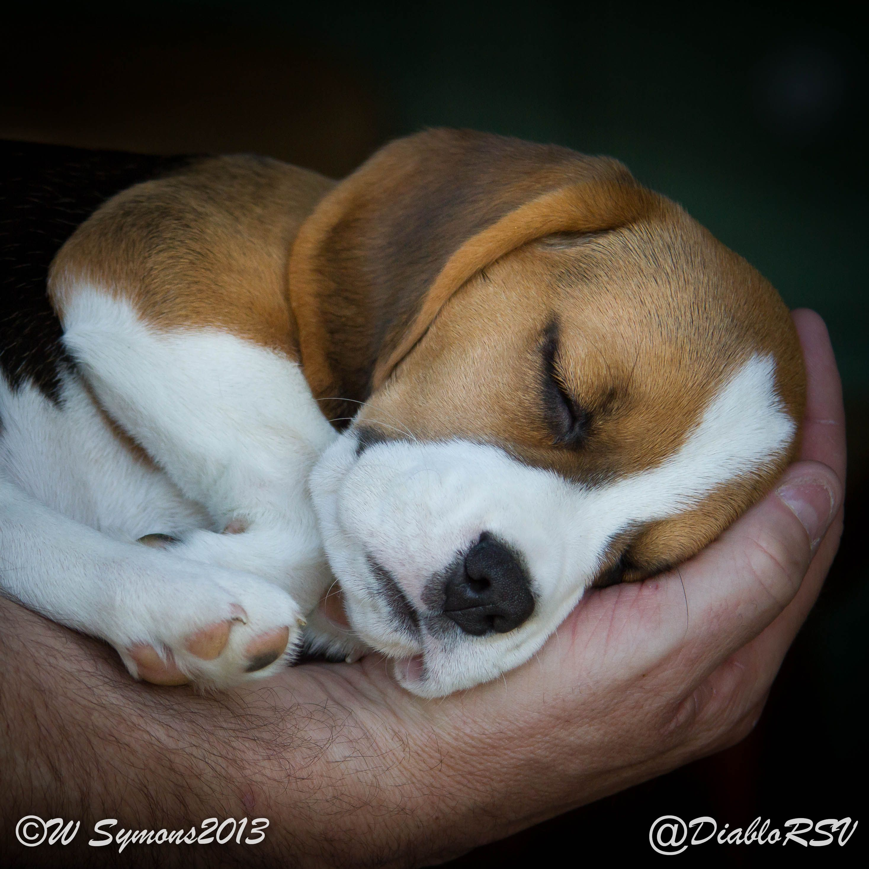 Cute beagle puppy beagles pinterest cute beagle puppy voltagebd Gallery