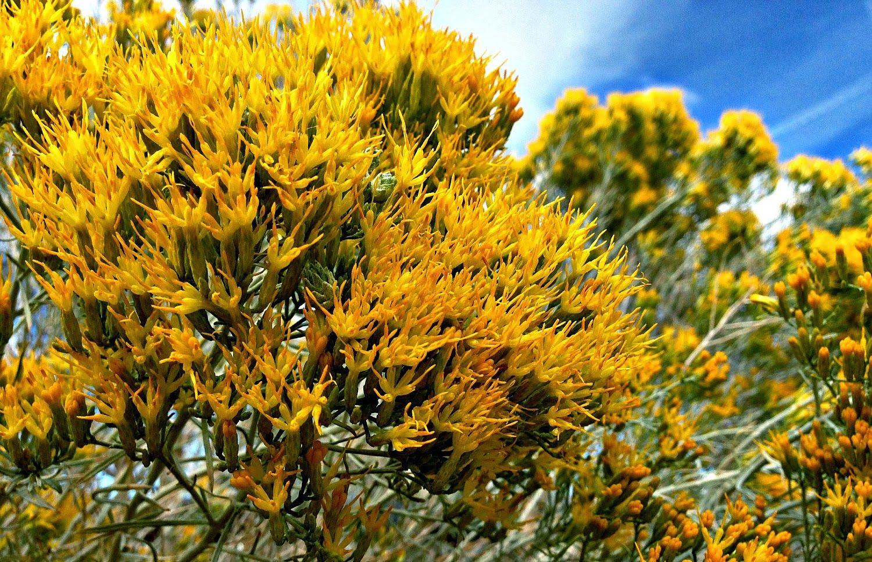Nevadaus state flower sagebrush the states pinterest