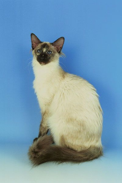 Balinese Cat Balinese Kittens For Sale Balinese Cats For
