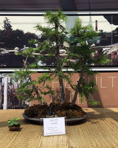 Anese Larch Bonsai At The Minnesota Society 2016 Mother S Day Show